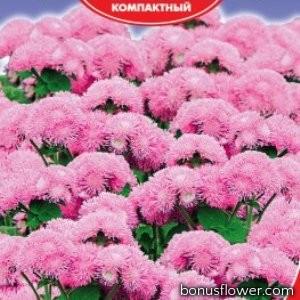 Агератум Розовая королева
