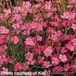 Гвоздика травянка - Dianthus deltoides