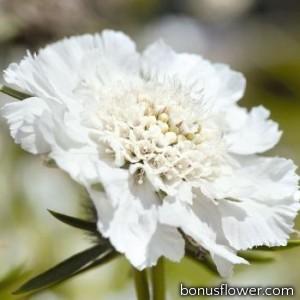 Скабиоза кавказская Fama®: White