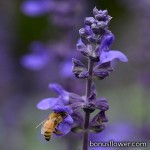 Сальвия межвидовая - Salvia interspecific