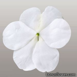 Бальзамин Lollipop™: Coconut White