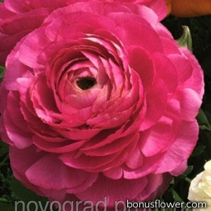Лютик азиатский Magic™ Rose