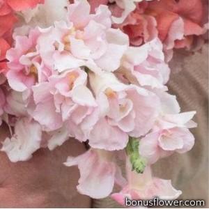 Львиный зев - Madame Butterfly Pink