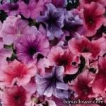 Петуния крупноцветковая - Petunia grandiflora