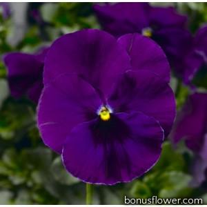 Виола Виттрока Fino F1 Violet