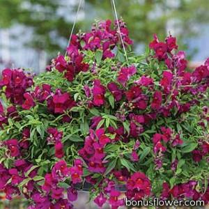 Львиный зев  Candy Showers®:  D Purple