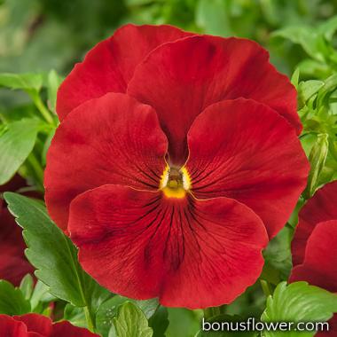Виола Cello™ scarlet