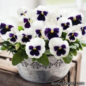 Виола Inspire DeluXXe White Blotch