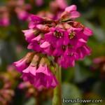 Бадан толстолистный - Bergenia cordifolia