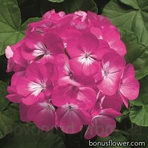 Пеларгония Ringo® 2000 F1 Deep Rose