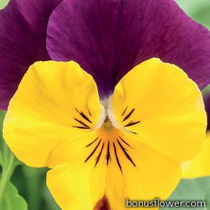 Виола рогатая Corina™ yellow purple wing