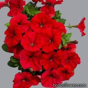 Петуния многоцветковая Mambo GP  red