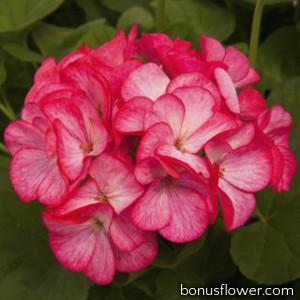 Пеларгония Pinto Premium Rose Bicolor