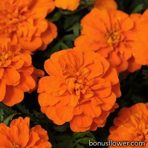 Бархатцы BONANZA F1 DEEP ORANGE