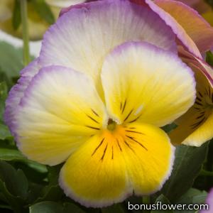 Виола Ultima: Radiance Lilac