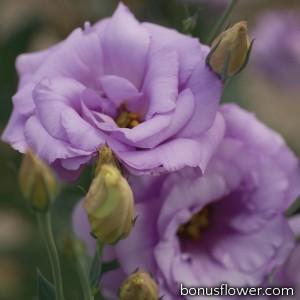 Эустома (Лизиантус) Mariachi®: Lavender