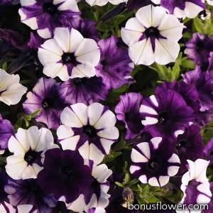 Петуния SHOCK WAVE®F1 Purple Tie Dye