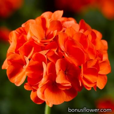 Пеларгония садовая Maverick Orange