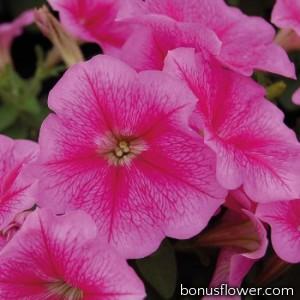 Петуния многоцветковая Mambo GP  rose veined