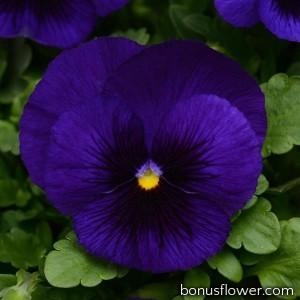 Виола MATRIX® F1 DEEP BLUE BLOTCH
