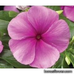 Катарантус  SunStorm® Deep Lilac