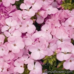 Пеларгония садовая Multibloom Lavender