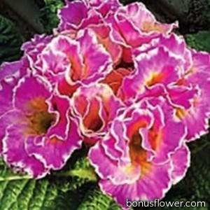 Примула Sirococco Rose