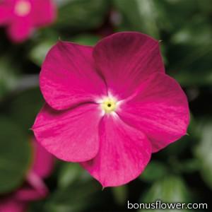 Катарантус роз Cora®Cascade™ Violet