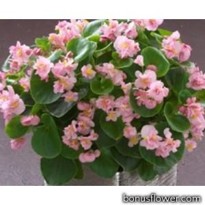 Бегония вечноцветущая Fiona F1 Pink