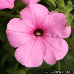 Петуния ампельная Explorer: Pink