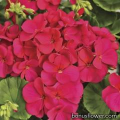 Пеларгония садовая Multibloom Violet