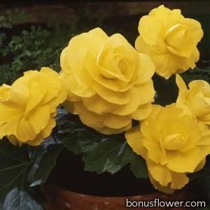 Бегония клубневая Amerihybrid Roseform Yellow