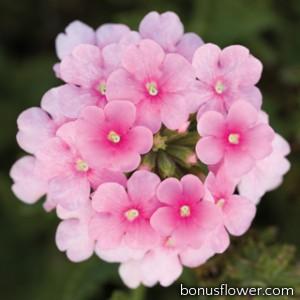 Вербена Obsession® Cascade Pink Shades