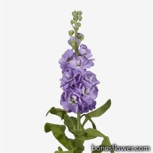 Левкой (поле,срез) MATHILDA   Lavender