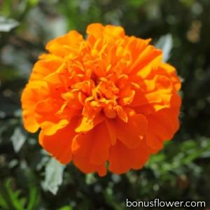Бархатцы отклон Cresta Deep Orange