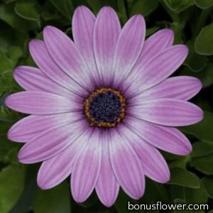 Остеоспермум Эклона Asti™ Purple Bicolor