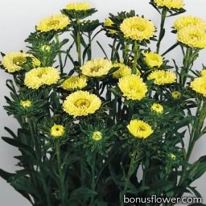 Астра на срез Fan®: Yellow