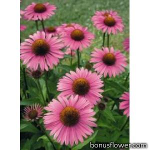 Эхинацея пурпур Primadonna®: Deep Rose