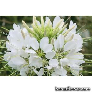 Клеома Хасслера Sparkler™ White
