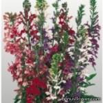 Лобелия красивая - Lobelia speciosa