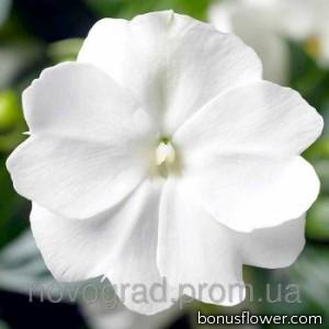 Бальзамин новогв Florific™ White