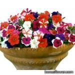 Петуния мелкоцветковая - Petunia milliflora