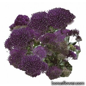 Трахелиум Passion: Deep Purple
