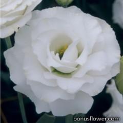 Эустома (Лизиантус) Croma 3 Silky White