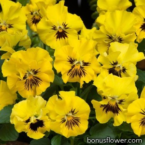 Виола Frizzle Sizzle Mini F1 Yellow