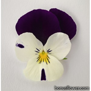 Виола Admire™ F1 White Purple Wing
