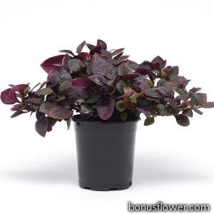 Альтернантера Purple Prince  (h 25-40cm )