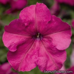 Петуния крупноцв Duvet® F1 Pink