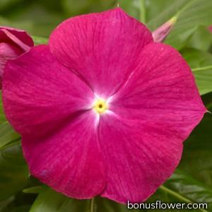 Катарантус розовый Cora XDR Cranberry