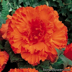 Бегония клубневая Amerihybrid  Ruffled Orange mandarin
